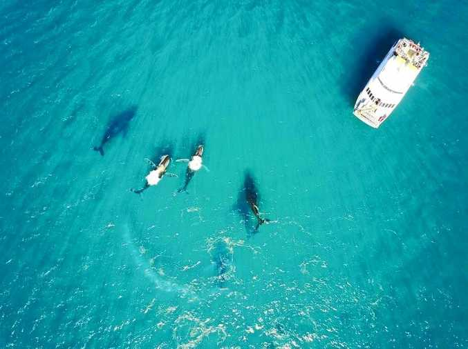 FRIENDLY GIANTS: An amazing drone shot from Freedom Fast Cats crew member Anthony Vaughan of a pod of whales breaching near their boat.