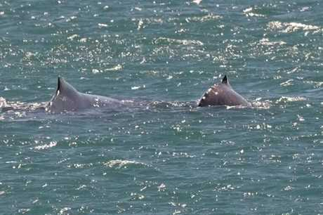 Mother and her calf spotted off Bargara coast.