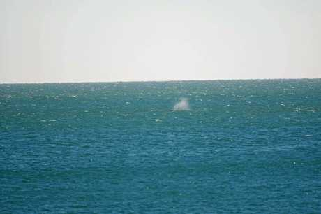 Two magnificent whales have been spotted off the Bargara coast.