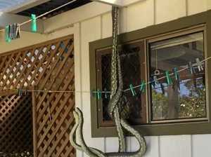 'Holy Sh*t!': Man spots two pythons while making a cuppa