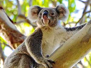 WORTH SAVING: The Queensland Koala Crusaders' Community Crowdfunding Campaign aims to raise $30,000 towards the cost of planting 10,000 trees for koalas.