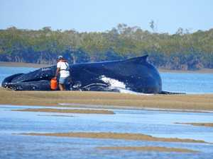 Sandy Strait whales were headed for shallow water