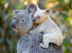 Incredibly rare white koala joey born at Australia Zoo