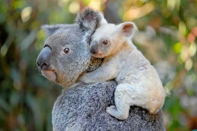 NEW BABY: A rare, white koala joey has been born at Australia Zoo.