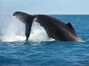 VIDEO: Rare whale species encountered off Qld coast