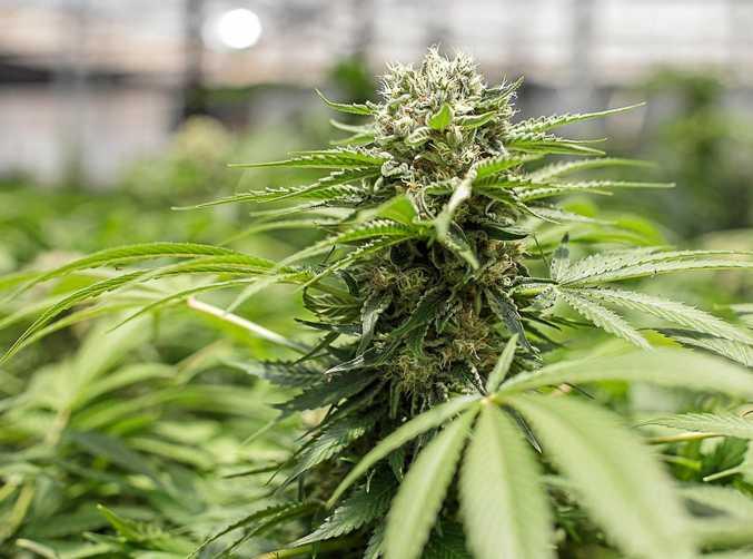 Israel MEDIFARM Cannabis plants