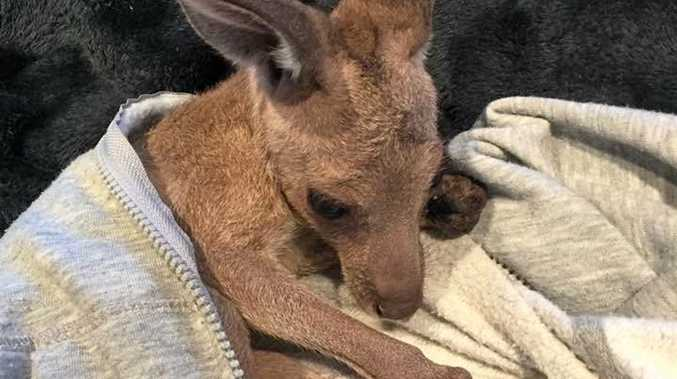 ROO RESCUE: Tayla Pashley found this joey in a Bundaberg paddock near it's deceased mother yesterday.