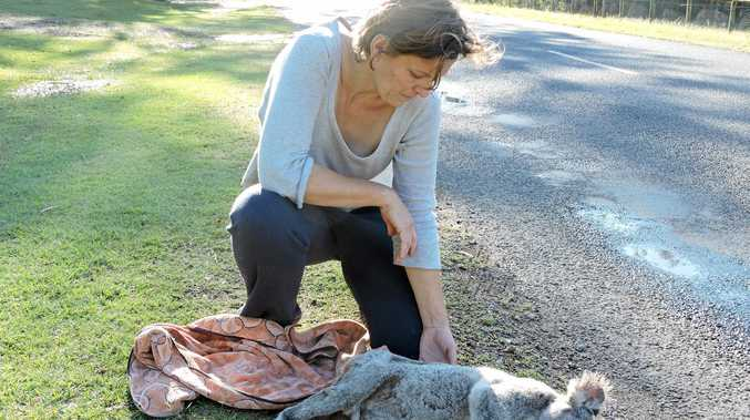 ANOTHER CASUALTY: File photo of a dead koala taken north of Gympie after it was hit by a car.