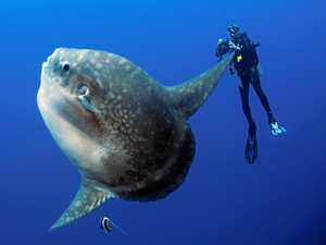 Majestic sunfish are photogenic