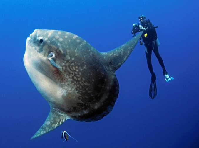 PRICELESS ENCOUNTER: The ocean sunfish or common mola is the heaviest known bony fish in the world.
