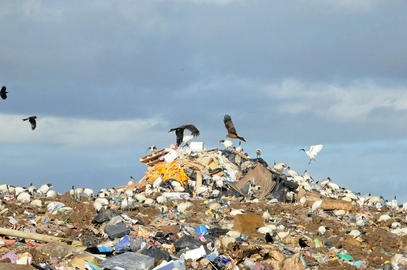 Kites at the Bonnick Road Dump site.Photo Tanya Easterby / The Gympie Times