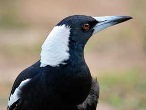 Be nice to the magpies