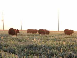 Affordable bulls on offer at Santa Central