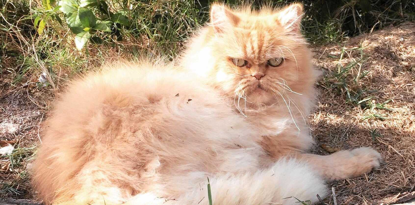 CAT ATTACK: Michelle Sutton's cat Herbie died after two dogs mauled it.