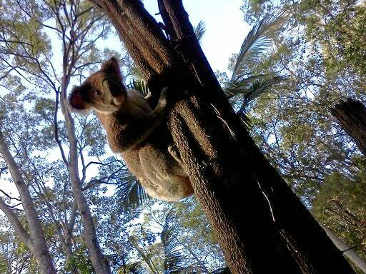 Climate change has now joined common threats such as habitat loss and dog attacks to the survival of koalas, where north coast numbers have been estimated having crashed 33% from 1990 - 2010. Photo Contributed