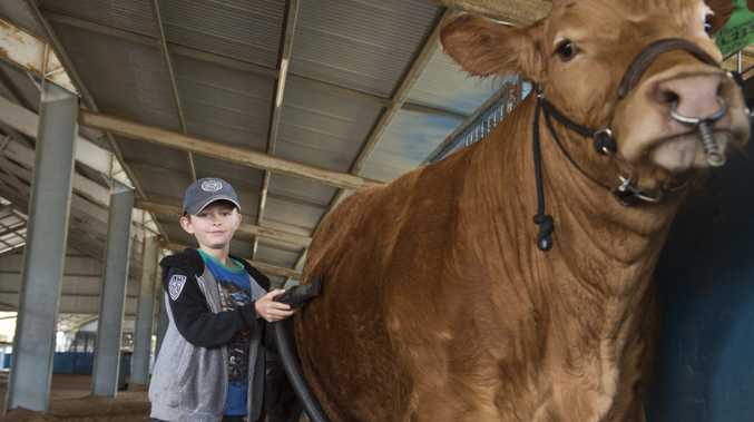 Cody Climpson prepares limousin steer Chunky Monkey for show at last year's Queensland Beef Expo at Toowoomba Showgrounds.