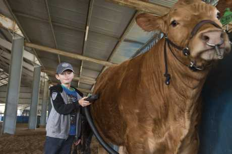 Cody Climpson prepares limousin steer Chunky Monkey for show at the Queensland Beef Expo at Toowoomba Showgrounds, Friday, September 2, 2016.