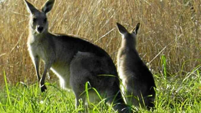 Armstrong killed three kangaroos.