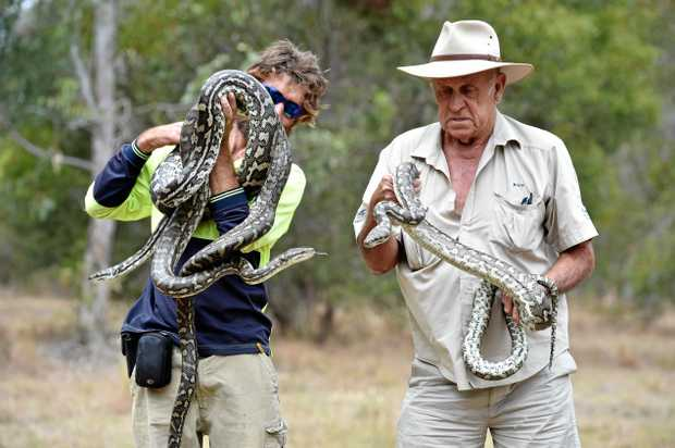 Snake catchers (L) Lee Davis and Roy McGrath with 3 pythons. Photo: Alistair Brightman / Fraser Coast Chronicle