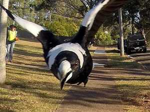 Caw blimey! Magpie season has started early