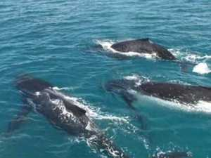 WATCH: Four curious whales spotted under boat