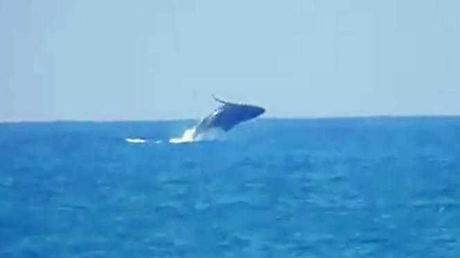 MAKING A SPLASH: The whale breaching at Kellys Beach.