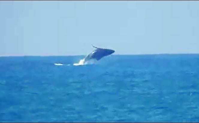 MAKING A SPLASH: The whale breaching at Kellys Beach.