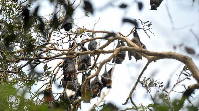 Bats in the belfry camp near Woolgoolga lake.