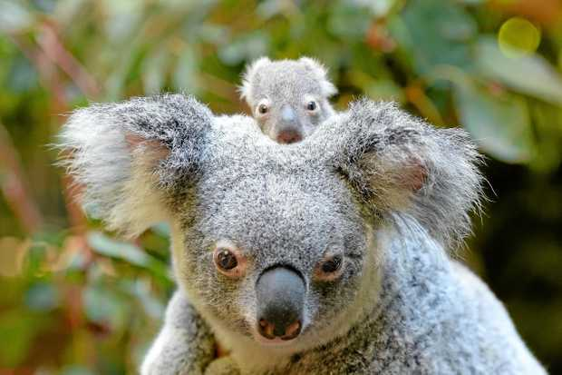KEEP ME SAFE: Coffs Coast is home to 35 threatened species and home to one of only 12 significant koala populations in NSW.