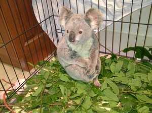 The deadly hotspots for koalas across Gympie