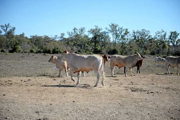 A heard of cattle kick up dust in a paddock in Edungalba, Central Queensland as Australia comes out of its driest winter since 2002.