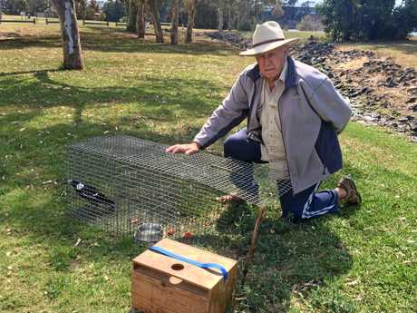A male magpie that has been swooping members of the public is being relocated by Roy McGrath.