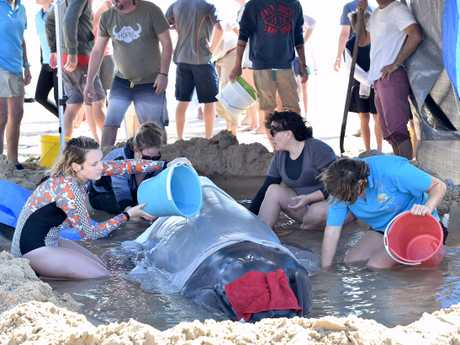 A team of rescuers are fighting to save a baby whale on the Sunshine Coast.