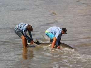 Teens rescue bull shark after catching it off Urangan Pier