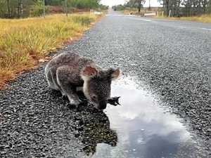 Sunshine Coast roads become death row for koalas