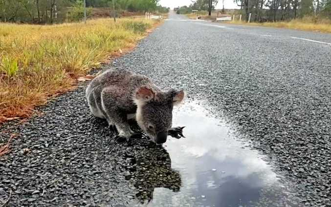 Koalas are on the move, and are at higher risk of being killed on our roads.