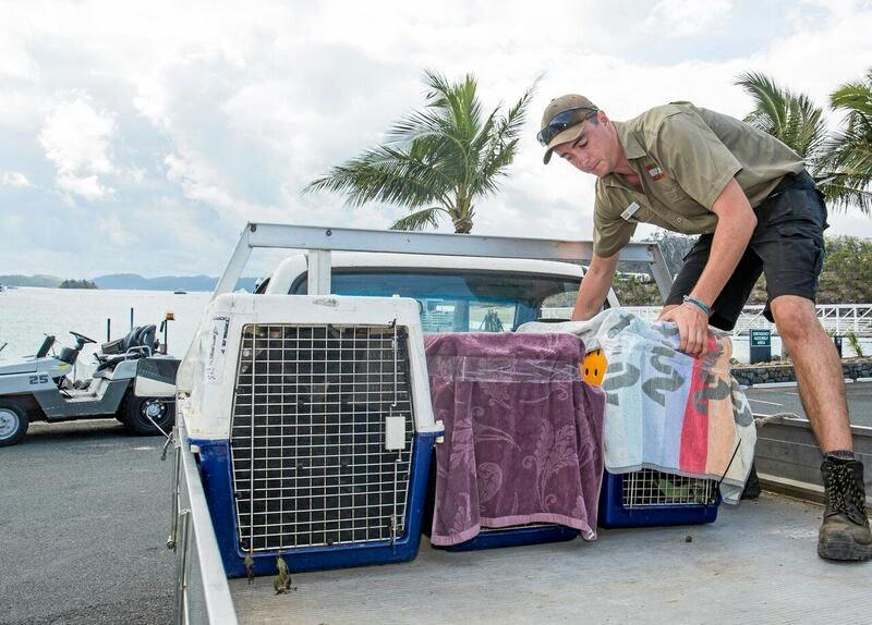 After spending some 'koala-ty' time with the team at Australia Zoo, it was time for koalas Bobby, Billy, Tallow and Jeddah to return to their island home, much to the delight of keepers and staff.