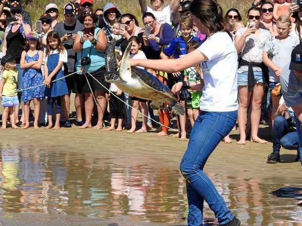 Lauren from CHART releases Green Sea Turtle, Captain.