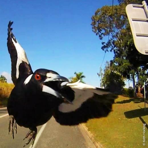 Magpie breeding season starts July, so look out for swooping magpies over the next couple of months.