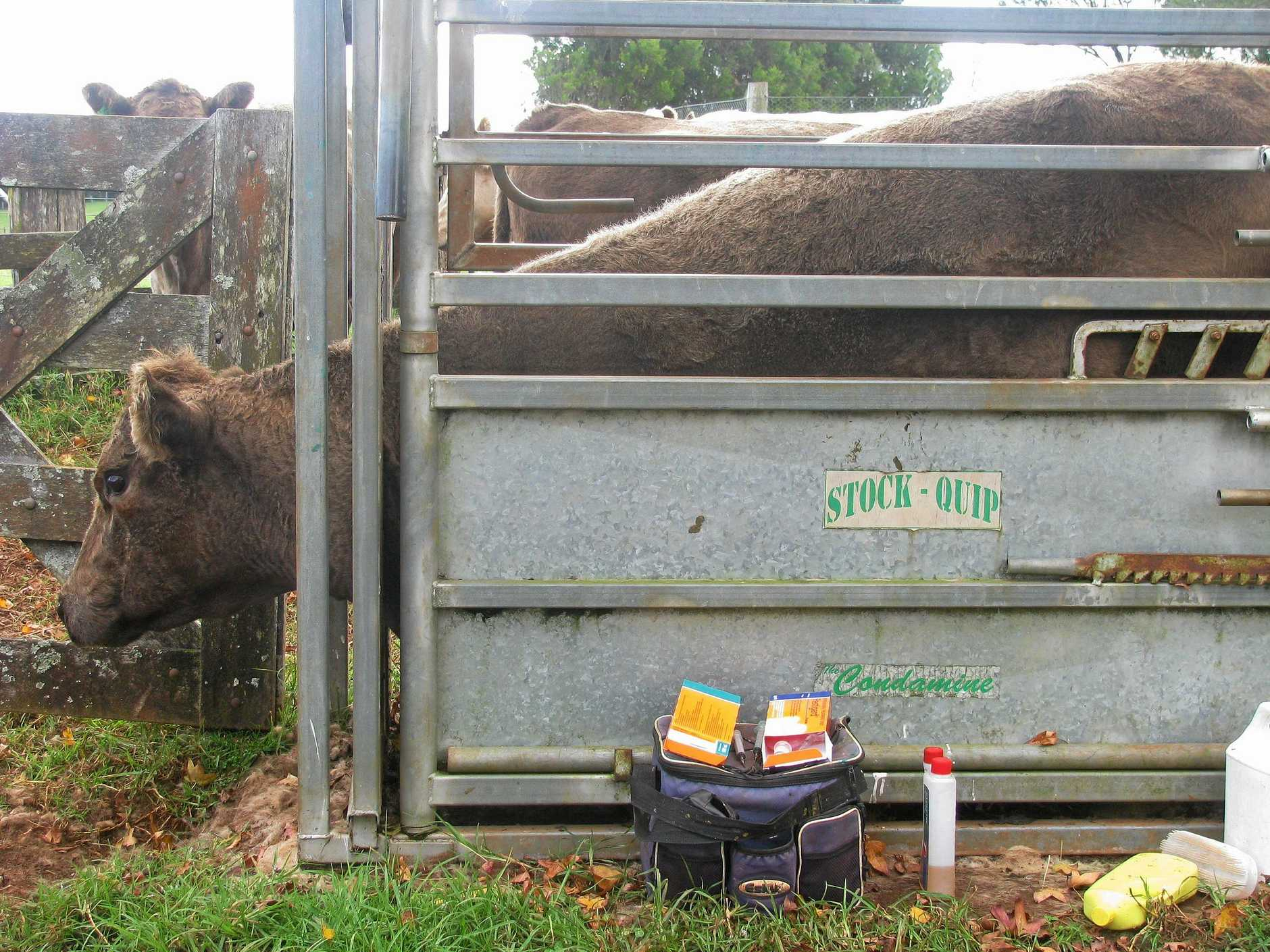 A cow getting vaccinated at Onwards Murray Grey Stud.