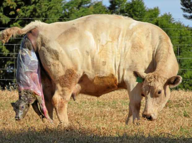 FARM LIFE: Sue captured this picture of a cow giving birth. After a 'rough' landing the calf and cow were fine.