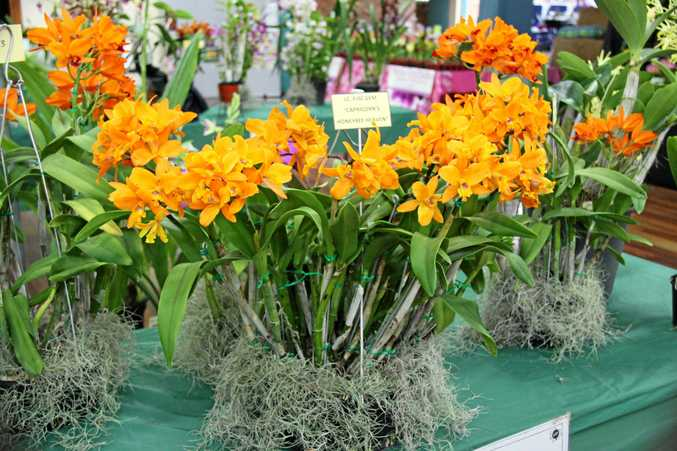 IN BLOOM: The Rockhampton Orchid Society's annual spring show will be held September 23 and 24.