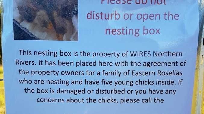 NEW HOME: WIRES Northern Rivers provides a home for some Rosellas.