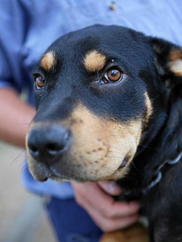 One of the dogs at Rockhampton Regional Council's pound. Photo Allan Reinikka / The Morning Bulletin