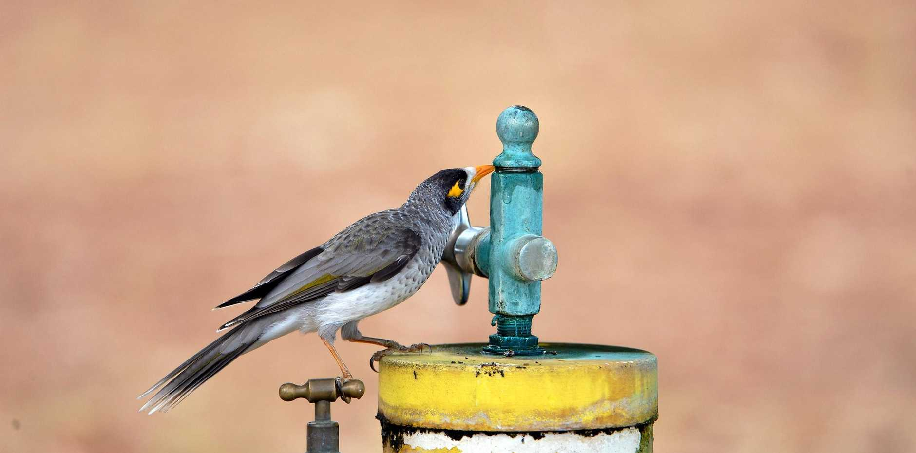 A brid takes a drink from a leaking tap