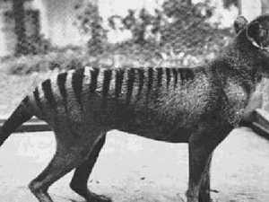 Tasmanian Tiger sighted