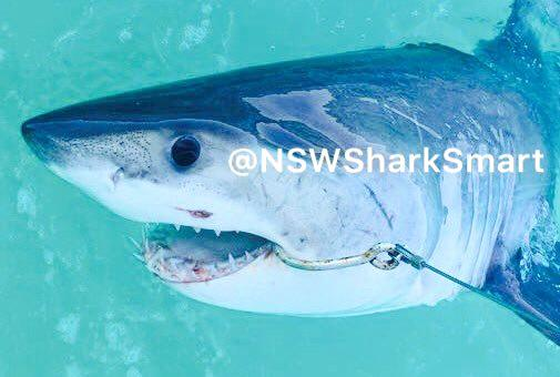 SHARK CAUGHT: This 1.92m female great white shark was one of three dangerous-listed sharks tagged and released off the Coffs Coast last week.
