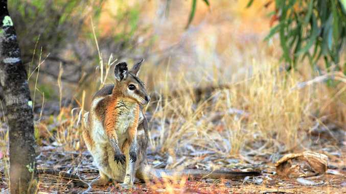 The population of Bridled Nailtail Wallabies has doubled in five years.