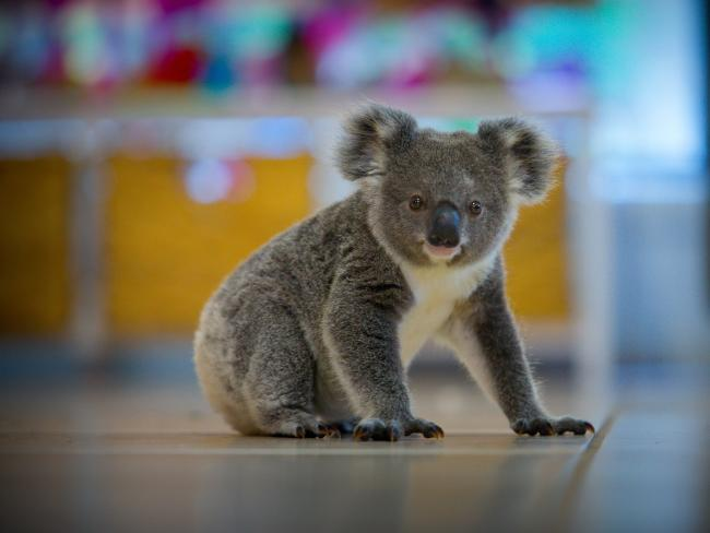 An orphan koala joey recovers at a refuge in southeast Queensland.