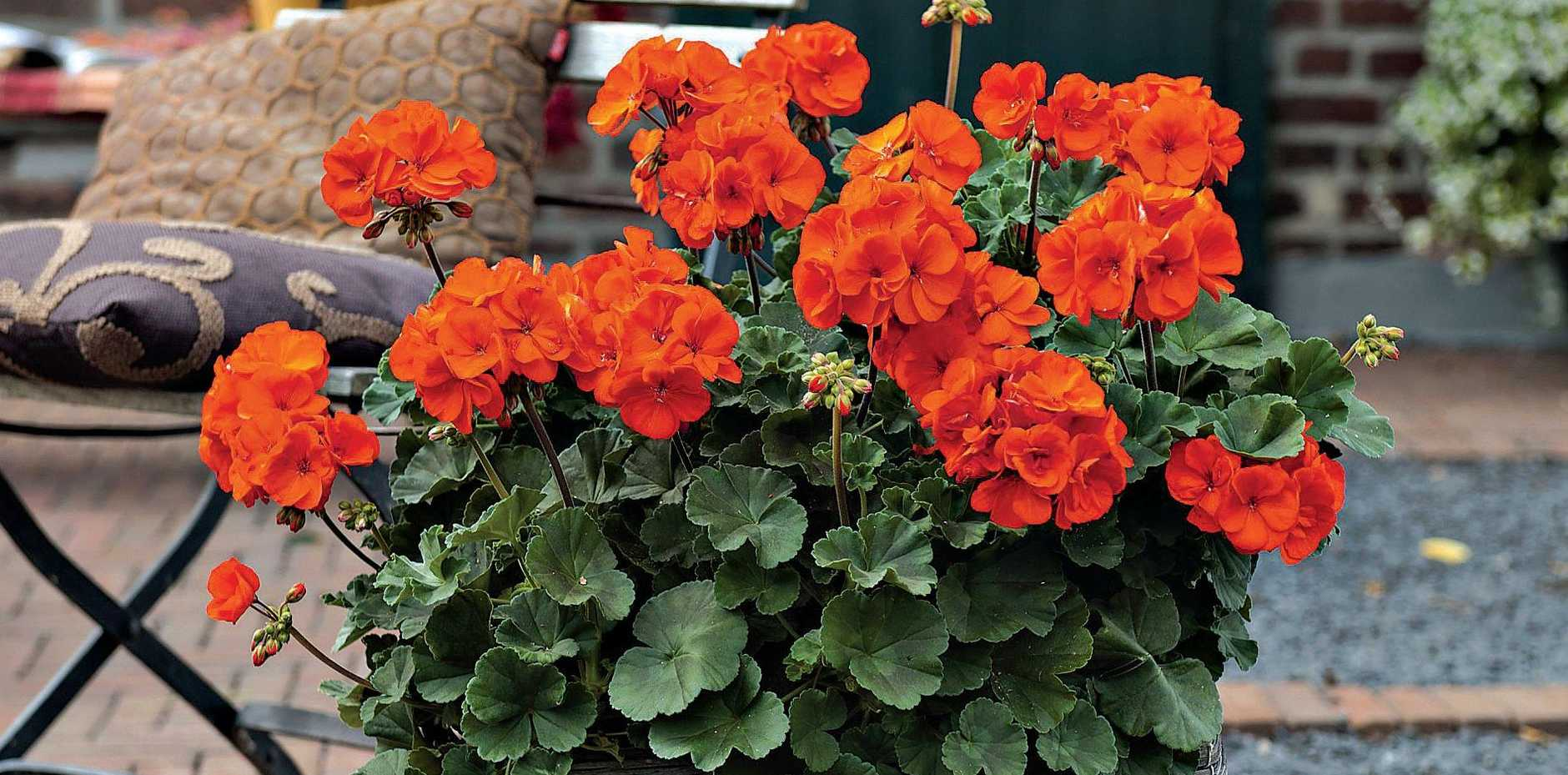Geraniums, like Oh So Orange, provide colour for much of the year.